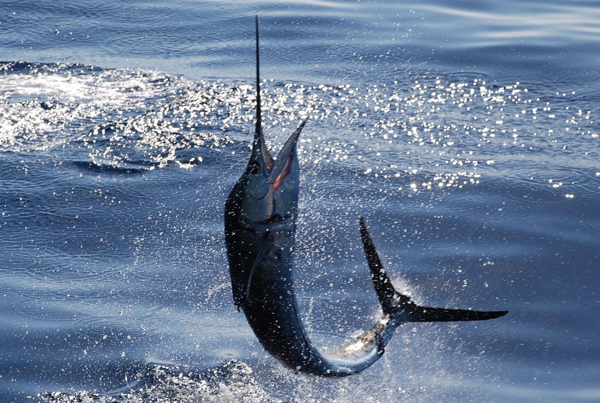 pez vela en Mazatlán